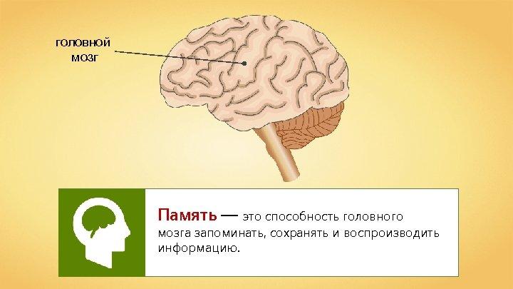 головной мозг Память — это способность головного мозга запоминать, сохранять и воспроизводить информацию.