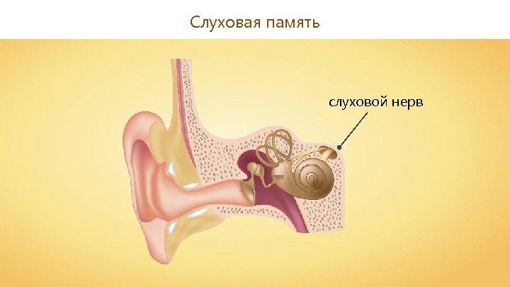 Слуховая память слуховой нерв