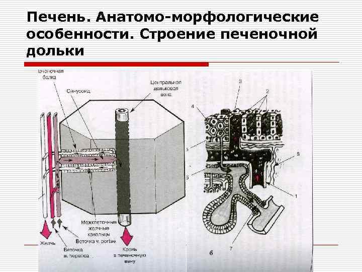 Печень. Анатомо-морфологические особенности. Строение печеночной дольки