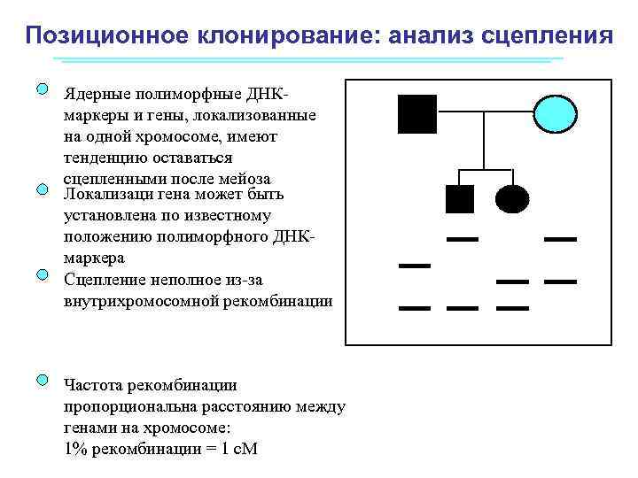 Позиционное клонирование: анализ сцепления Ядерные полиморфные ДНКмаркеры и гены, локализованные на одной хромосоме, имеют