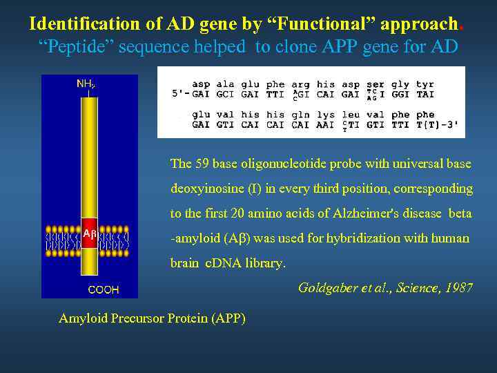 """Identification of AD gene by """"Functional"""" approach. """"Peptide"""" sequence helped to clone APP gene"""