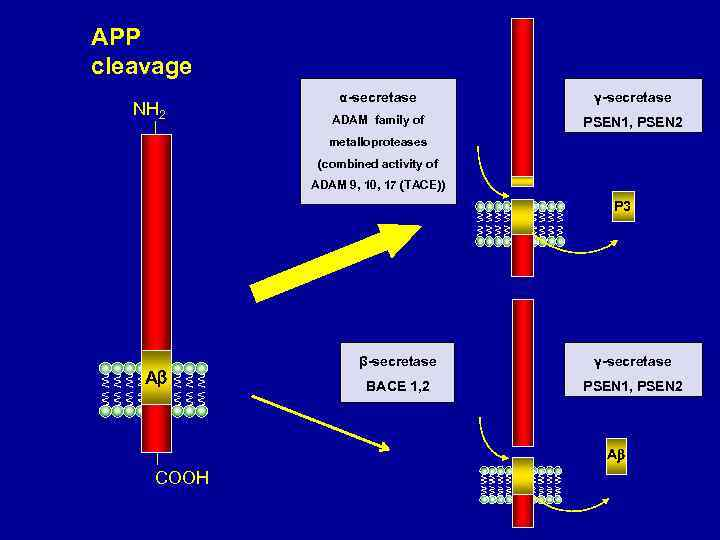 APP cleavage NH 2 α-secretase γ-secretase ADAM family of PSEN 1, PSEN 2 metalloproteases