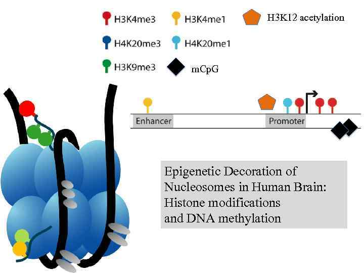 H 3 K 12 acetylation m. Cp. G Epigenetic Decoration of Nucleosomes in Human