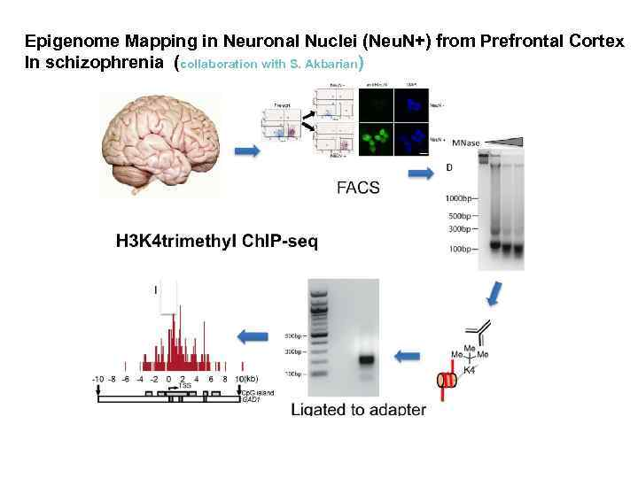 Epigenome Mapping in Neuronal Nuclei (Neu. N+) from Prefrontal Cortex In schizophrenia (collaboration with