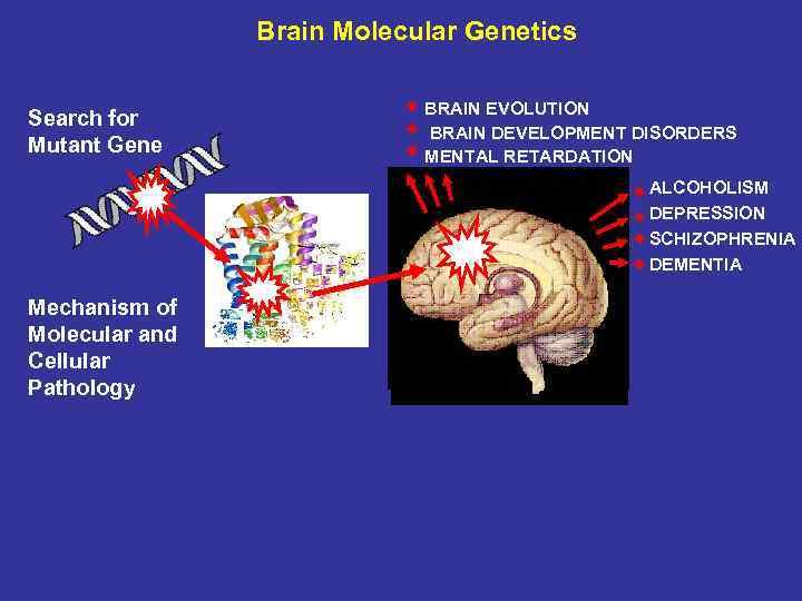 Brain Molecular Genetics Search for Mutant Gene BRAIN EVOLUTION BRAIN DEVELOPMENT DISORDERS MENTAL RETARDATION