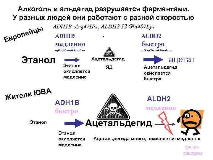 Алкоголь и альдегид разрушается ферментами. У разных людей они работают с разной скоростью ADH