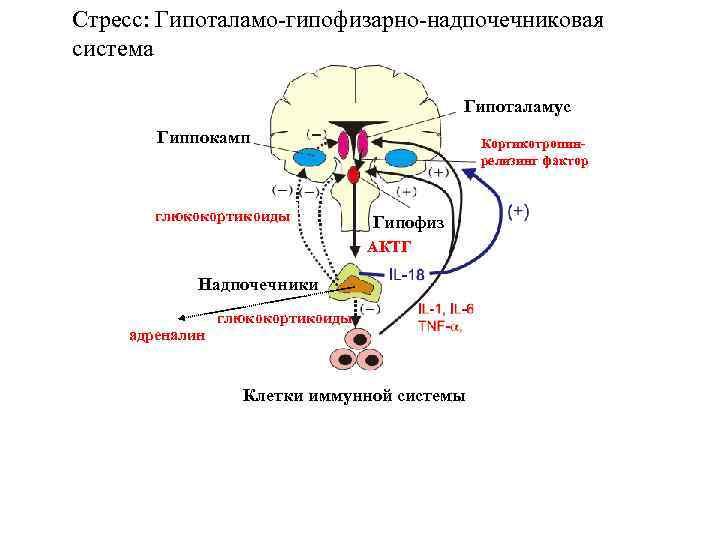 Стресс: Гипоталамо-гипофизарно-надпочечниковая система Гипоталамус Гиппокамп глюкокортикоиды Кортикотропинрелизинг фактор Гипофиз АКТГ Надпочечники адреналин глюкокортикоиды Клетки