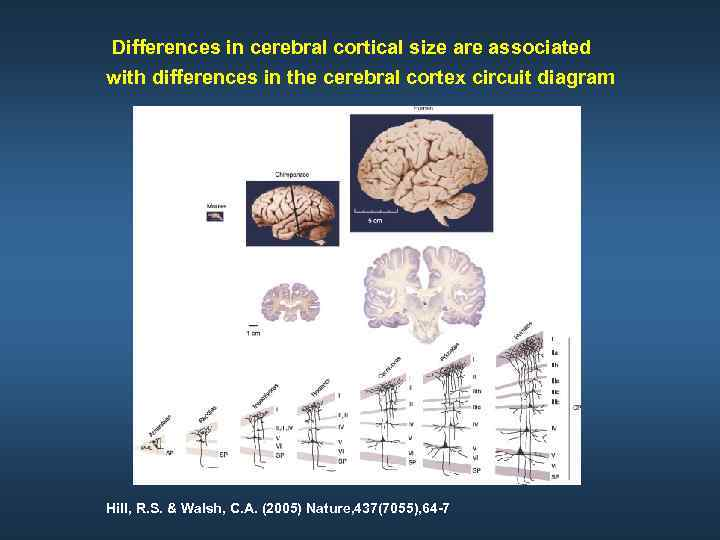 Differences in cerebral cortical size are associated with differences in the cerebral cortex