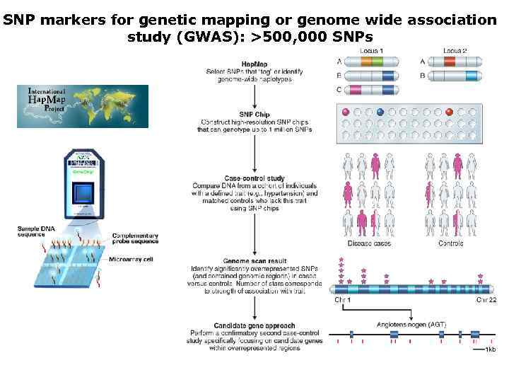 SNP markers for genetic mapping or genome wide association study (GWAS): >500, 000 SNPs