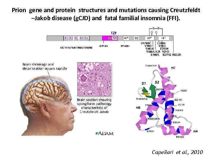 Prion gene and protein structures and mutations causing Creutzfeldt –Jakob disease (g. CJD) and