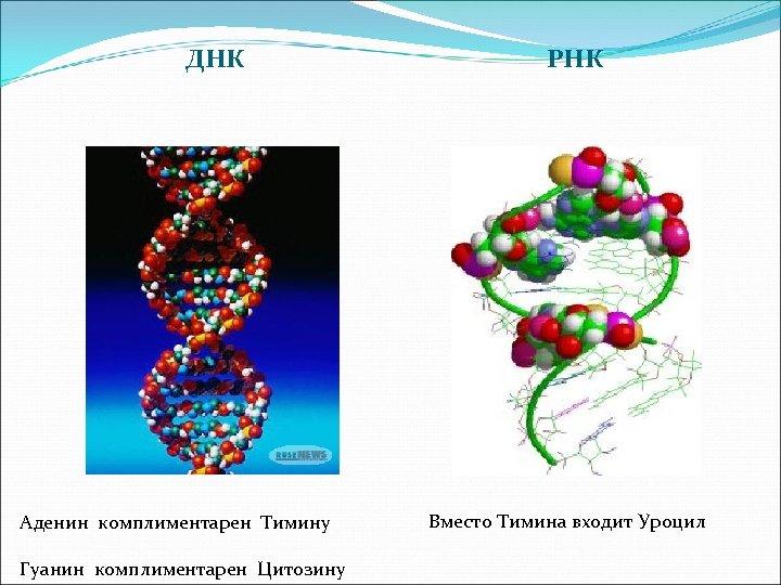 ДНК Аденин комплиментарен Тимину Гуанин комплиментарен Цитозину РНК Вместо Тимина входит Уроцил