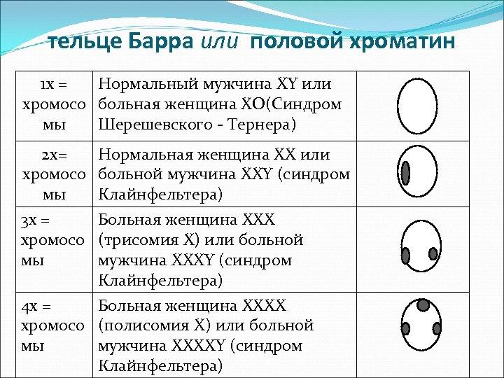 тельце Барра или половой хроматин 1 x = Нормальный мужчина XY или хромосо больная