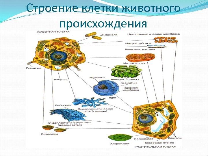 Строение клетки животного происхождения