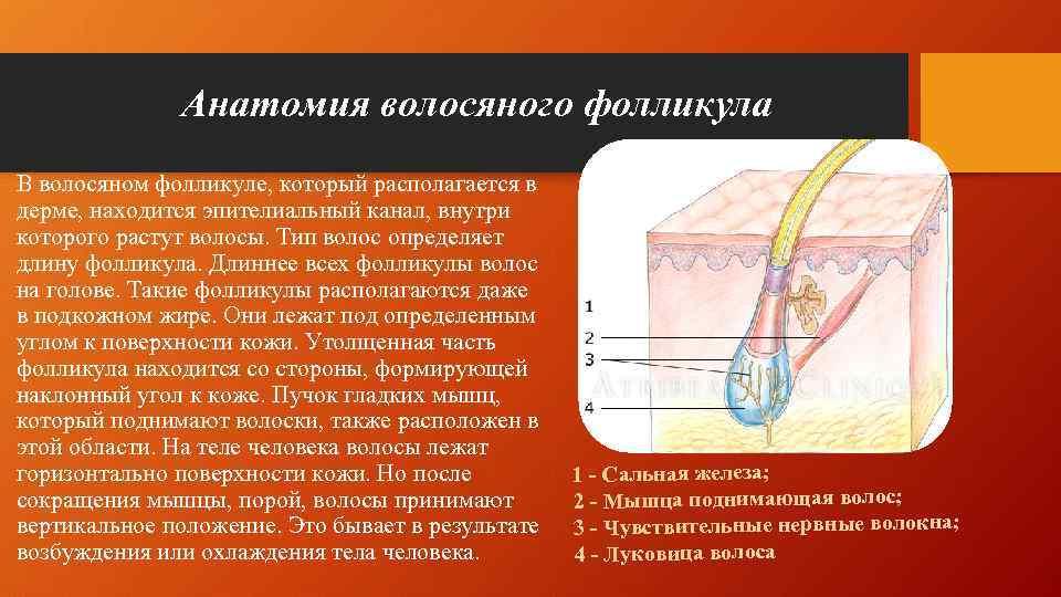 Анатомия волосяного фолликула В волосяном фолликуле, который располагается в дерме, находится эпителиальный канал, внутри