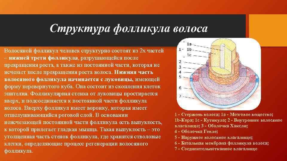 Структура фолликула волоса Волосяной фолликул человек структурно состоят из 2 х частей – нижней