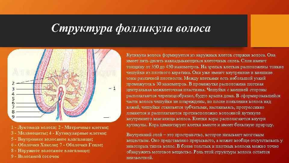 Структура фолликула волоса 1 - Луковица волоса; 2 - Матричные клетки; 3 - Меланоциты;