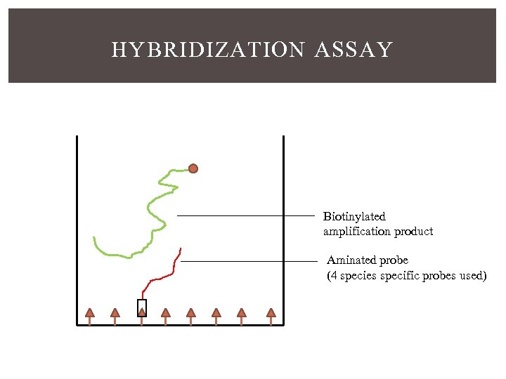HYBRIDIZATION ASSAY Biotinylated amplification product Aminated probe (4 species specific probes used)