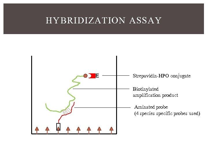 HYBRIDIZATION ASSAY E Strepavidin-HPO conjugate Biotinylated amplification product Aminated probe (4 species specific probes