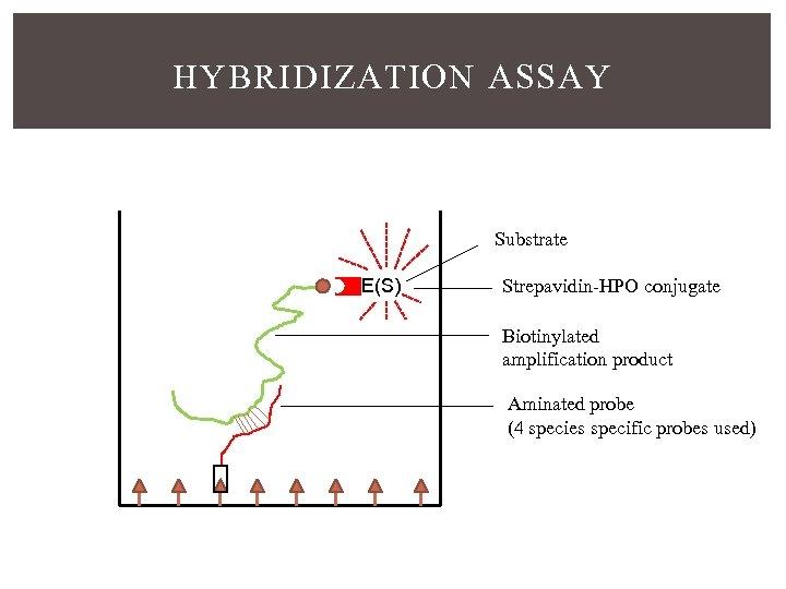 HYBRIDIZATION ASSAY Substrate E(S) Strepavidin-HPO conjugate Biotinylated amplification product Aminated probe (4 species specific