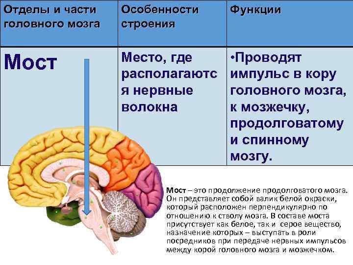Отделы и части головного мозга Особенности строения Функции Мост Место, где располагаютс я нервные