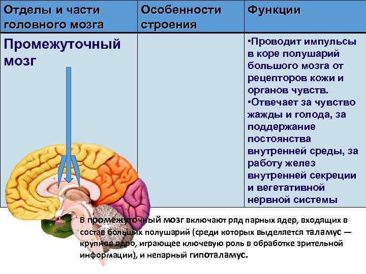 Отделы и части головного мозга Промежуточный мозг Особенности строения Функции • Проводит импульсы в