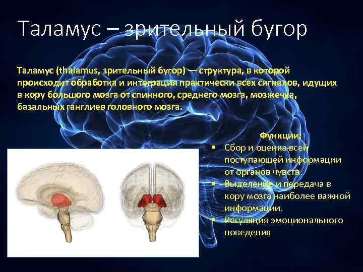 Таламус – зрительный бугор Таламус (thalamus, зрительный бугор) — структура, в которой происходит обработка