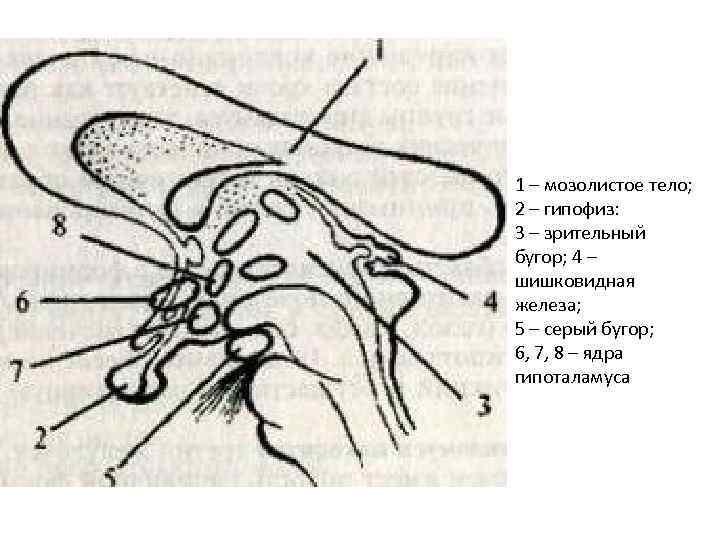 1 – мозолистое тело; 2 – гипофиз: 3 – зрительный бугор; 4 – шишковидная