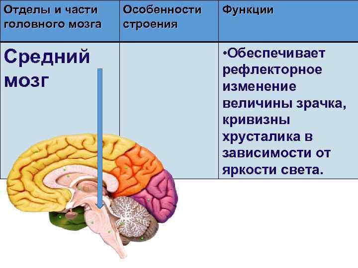 Отделы и части головного мозга Средний мозг Особенности строения Функции • Обеспечивает рефлекторное изменение
