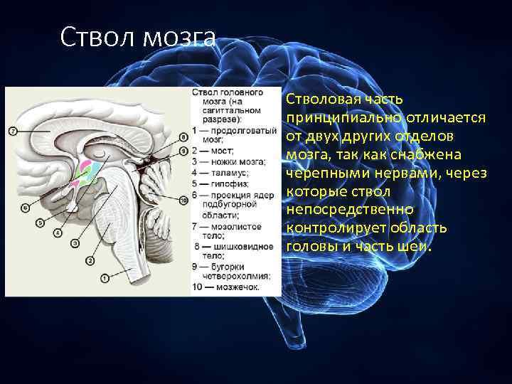 Ствол мозга Стволовая часть принципиально отличается от двух других отделов мозга, так как снабжена