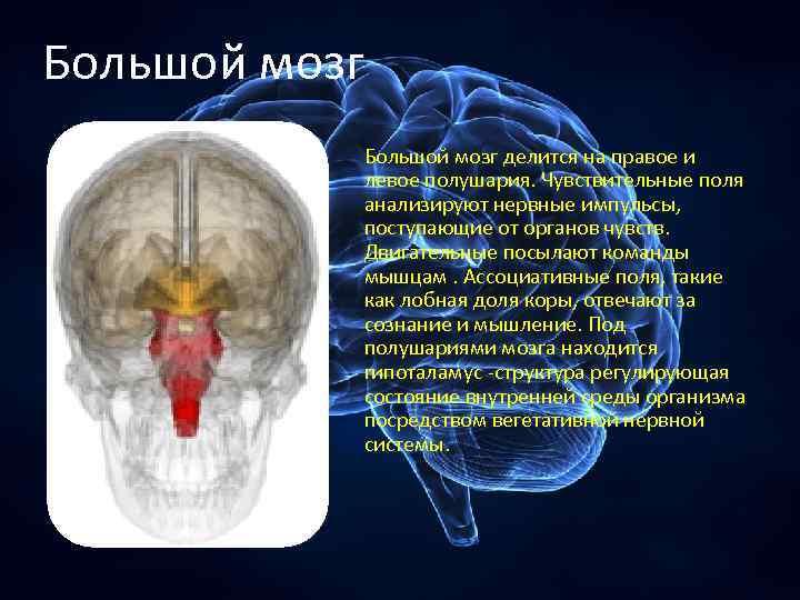 Большой мозг делится на правое и левое полушария. Чувствительные поля анализируют нервные импульсы, поступающие