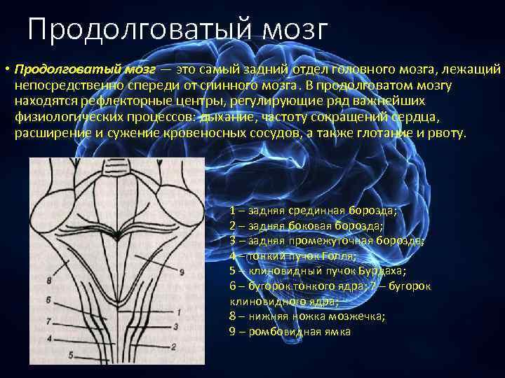 Продолговатый мозг • Продолговатый мозг — это самый задний отдел головного мозга, лежащий непосредственно