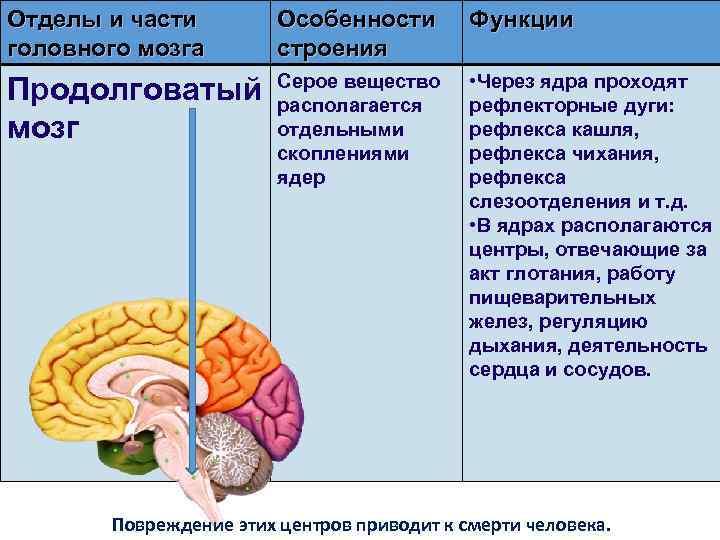 Отделы и части головного мозга Особенности строения Функции Продолговатый мозг Серое вещество располагается отдельными