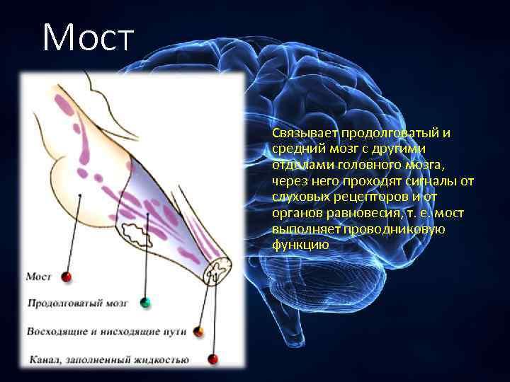 Мост Связывает продолговатый и средний мозг с другими отделами головного мозга, через него проходят
