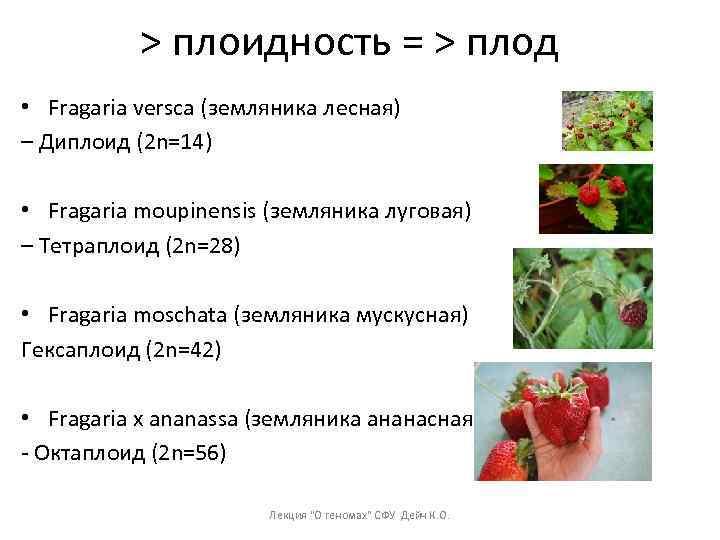 > плоидность = > плод • Fragaria versca (земляника лесная) – Диплоид (2 n=14)