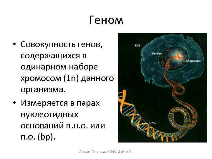 Геном • Совокупность генов, содержащихся в одинарном наборе хромосом (1 n) данного организма. •