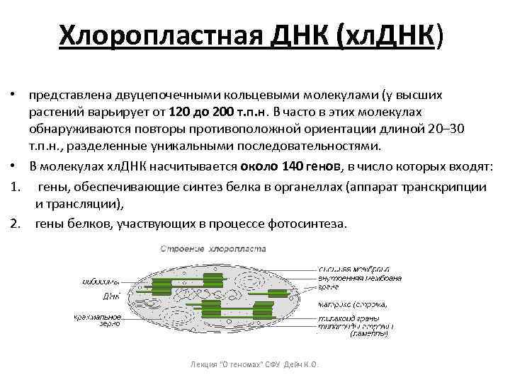 Хлоропластная ДНК (хл. ДНК) • представлена двуцепочечными кольцевыми молекулами (у высших растений варьирует от