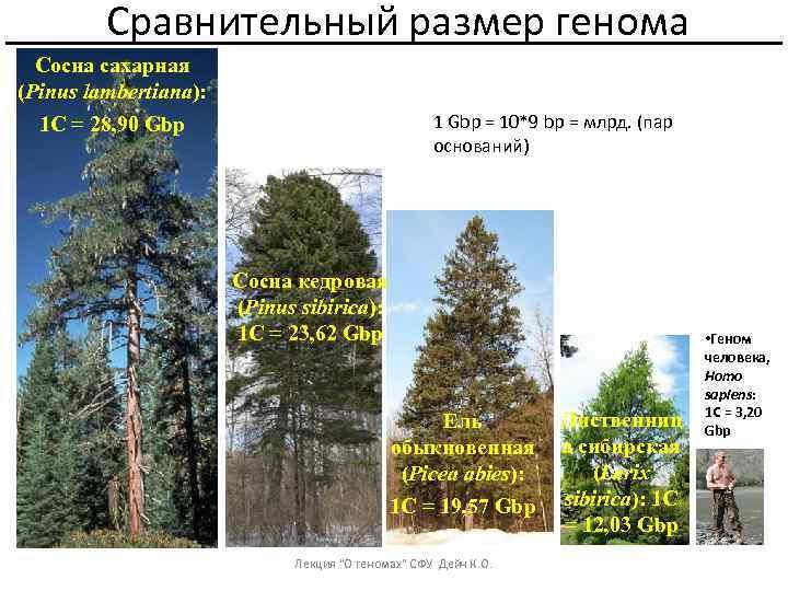 Сравнительный размер генома Сосна сахарная (Pinus lambertiana): 1 С = 28, 90 Gbp 1