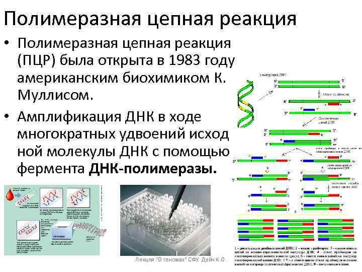 Полимеразная цепная реакция • Полимеразная цепная реакция (ПЦР) была открыта в 1983 году американским