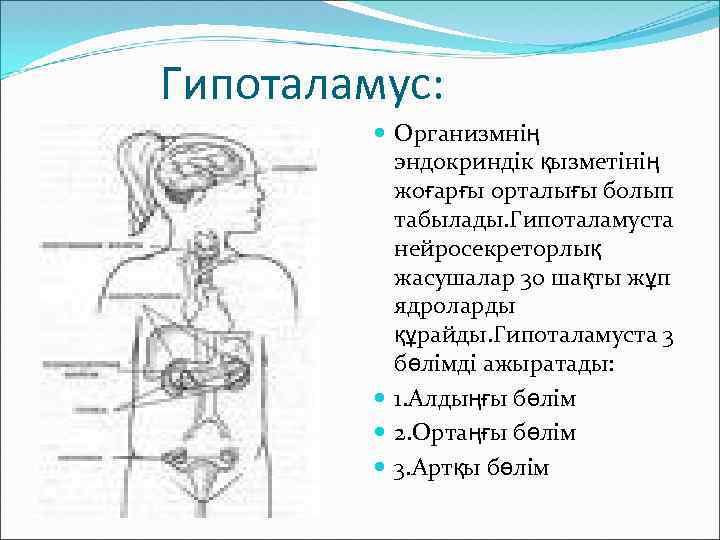 Гипоталамус: Организмнің эндокриндік қызметінің жоғарғы орталығы болып табылады. Гипоталамуста нейросекреторлық жасушалар 30 шақты жұп