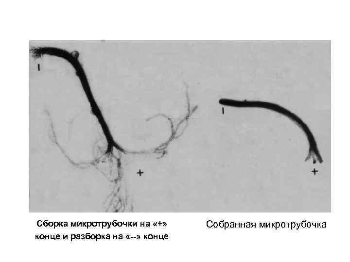 Сборка микротрубочки на «+» конце и разборка на «--» конце Собранная микротрубочка