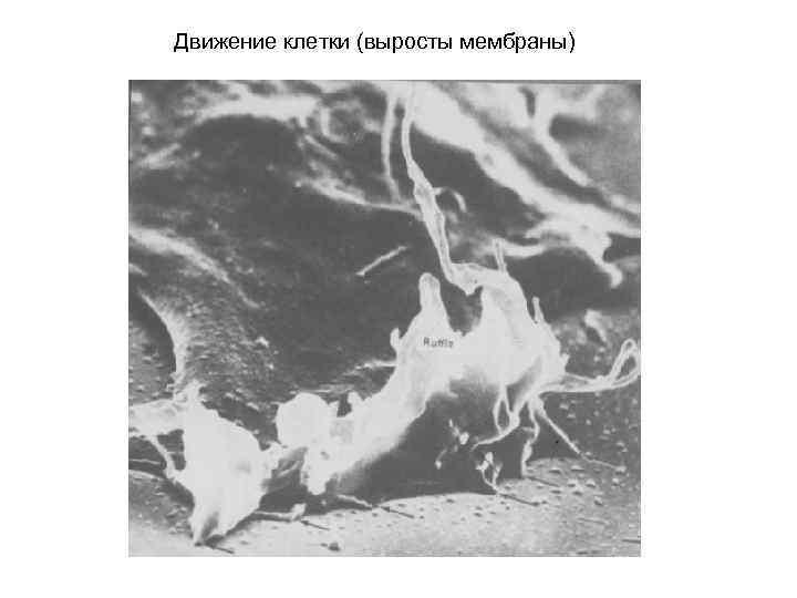 Движение клетки (выросты мембраны)