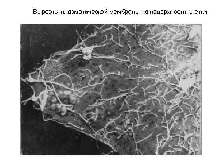Выросты плазматической мембраны на поверхности клетки.