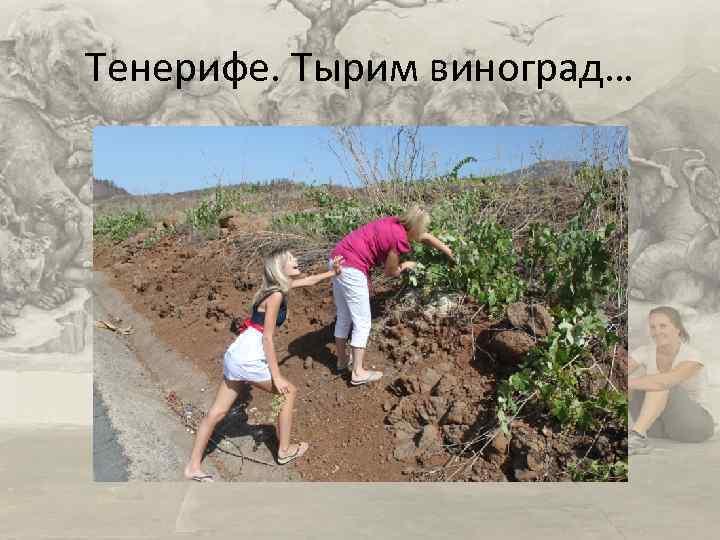 Тенерифе. Тырим виноград…