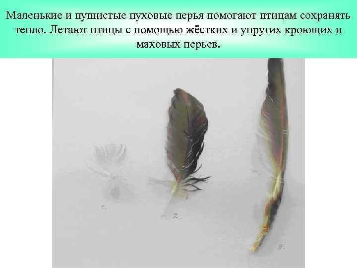Маленькие и пушистые пуховые перья помогают птицам сохранять тепло. Летают птицы с помощью жёстких