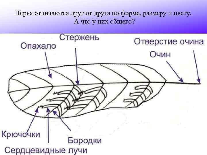 Перья отличаются друг от друга по форме, размеру и цвету. А что у них