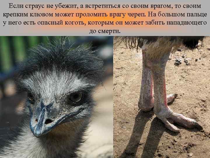 Если страус не убежит, а встретиться со своим врагом, то своим крепким клювом может