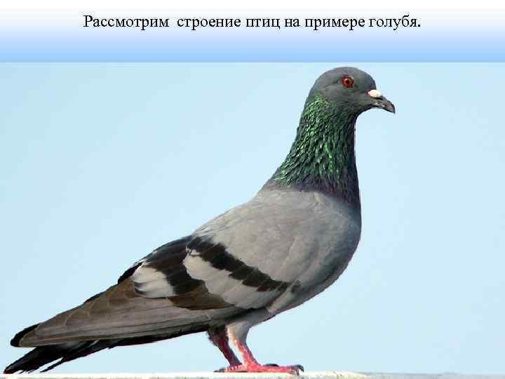 Рассмотрим строение птиц на примере голубя.