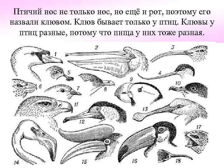 Птичий нос не только нос, но ещё и рот, поэтому его назвали клювом. Клюв