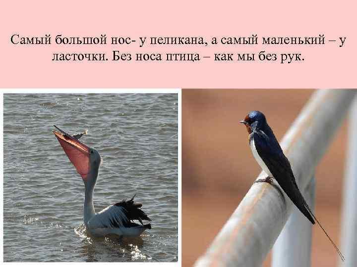 Самый большой нос- у пеликана, а самый маленький – у ласточки. Без носа птица