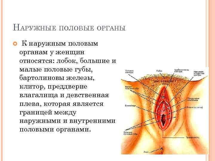 Женские половые органы права 14